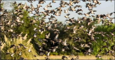 How to Survive High-Volume Dove Shooting in Argentina