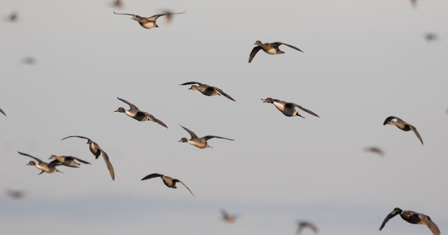 USFWS Proposes Liberal Frameworks for 2020-2021 Waterfowl Season